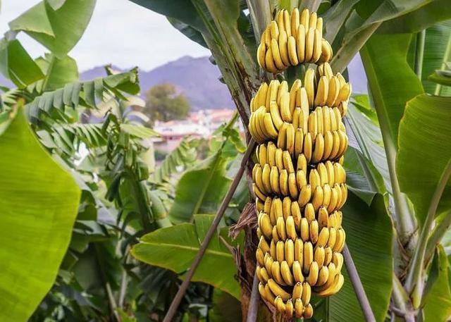 水果趣知识;最长的黄瓜、最大的草莓及最大的香蕉